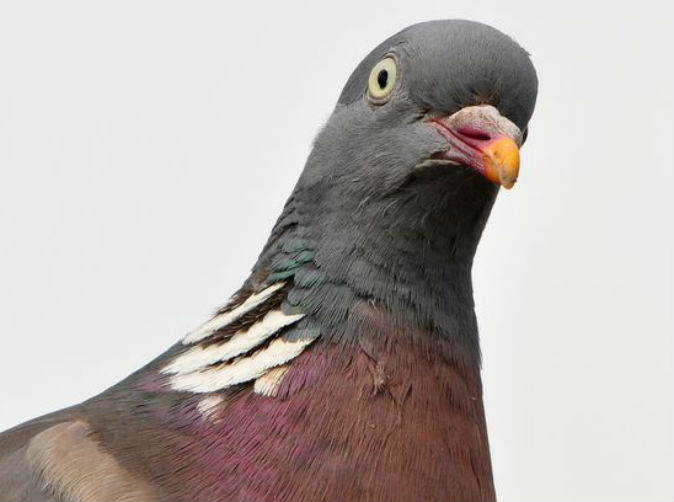 Pigeon arrested for carrying threatening message in India