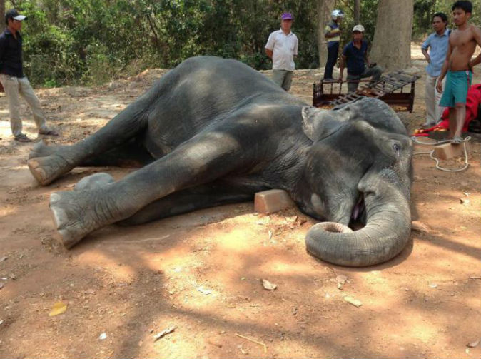 Elephant dies from exhaustion carrying tourists