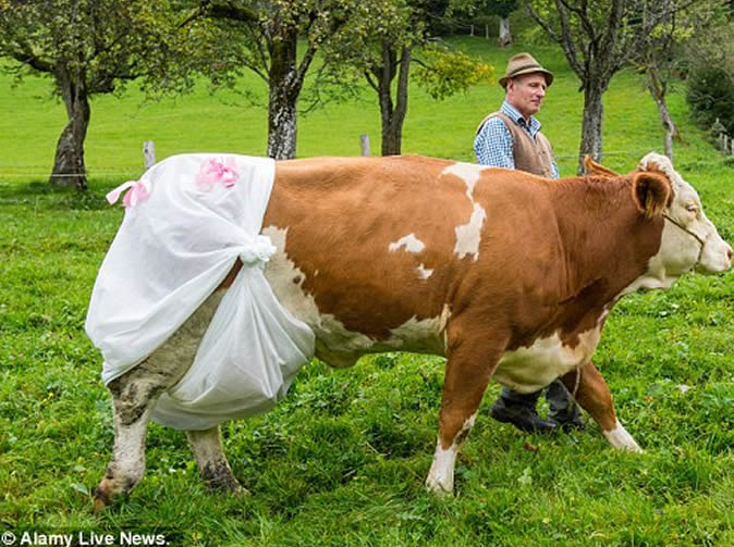 New EU law 'forces' farmer to makes cows wear nappies
