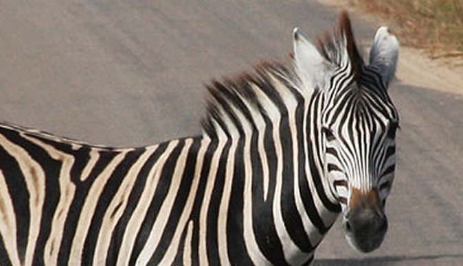Real life zebra crossing confuses cops