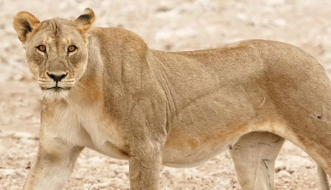 Escaped lion caught and killed after attacking villager in South Africa