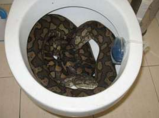 Python bites man's privates while he sits on toilet