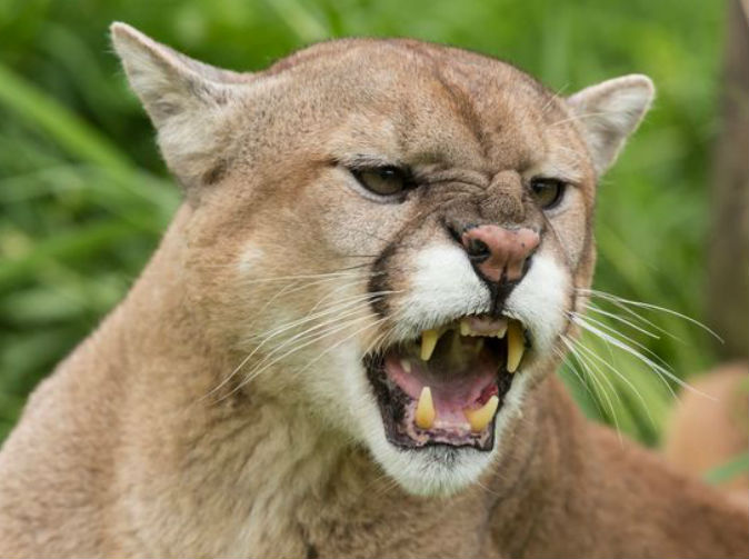 Mother fights off mountain lion after it attacked 5-year-old son