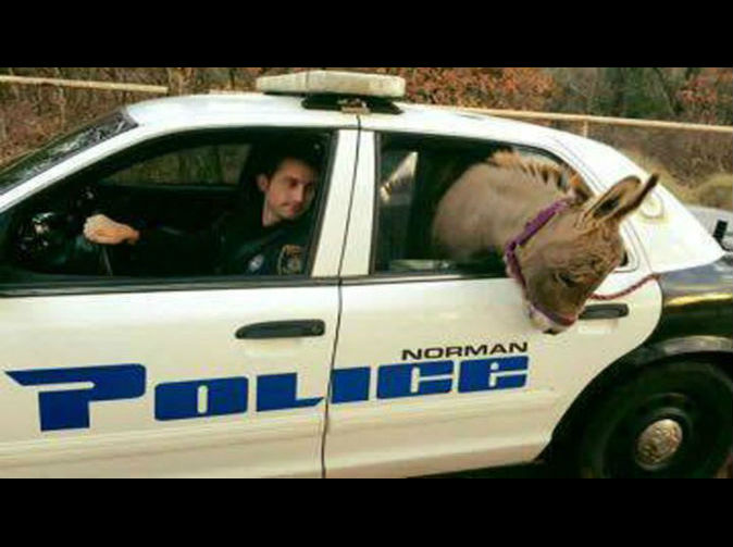 Donkey driven home in police car