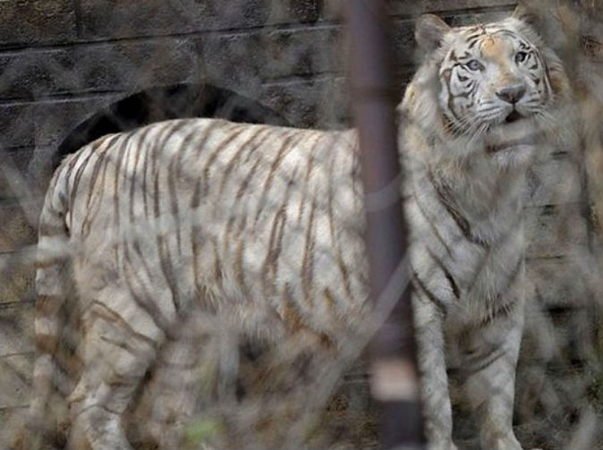 Mum dragged to death as family attacked by tigers