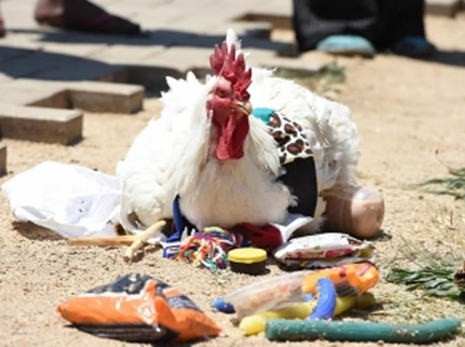 Chicken robbed of its bling in broad daylight