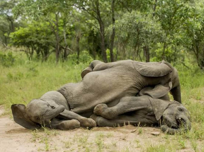Drunk elephants caught stumbling over each other