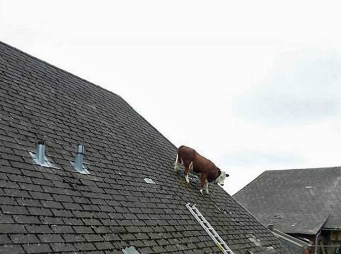 Cow gets stuck on roof