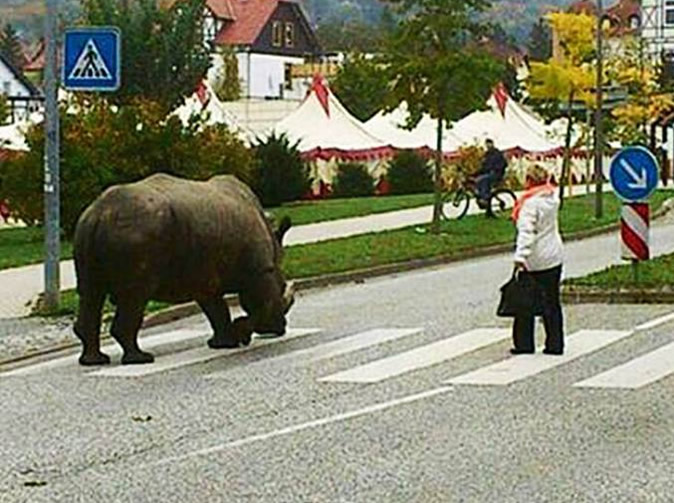 Panic as rhino goes for a walk in town