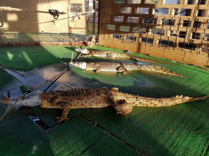 Vandals let crocodiles loose in school
