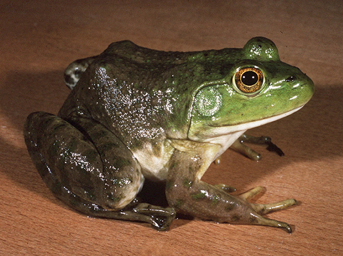 'Woman gives birth to bullfrog'