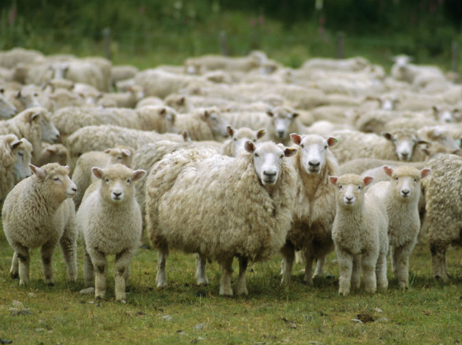 Sheep go on rampage after 'eating discarded cannabis plants'