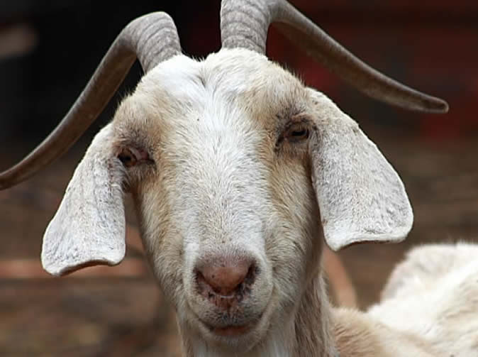 Man insists he asked goat before having sex with it