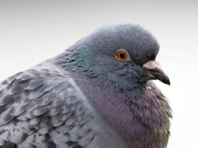Paramedic rushes to save dying woman, finds poorly pigeon instead
