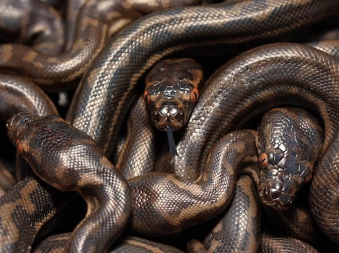 Villagers in shock as 30 pythons found on top of grave