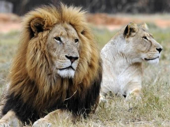 American woman dies in South Africa lion attack