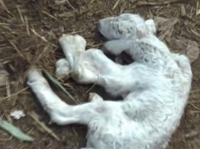 Lamb born with six feet