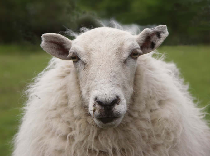 Student raped sheep 'because he was stressed about exam'