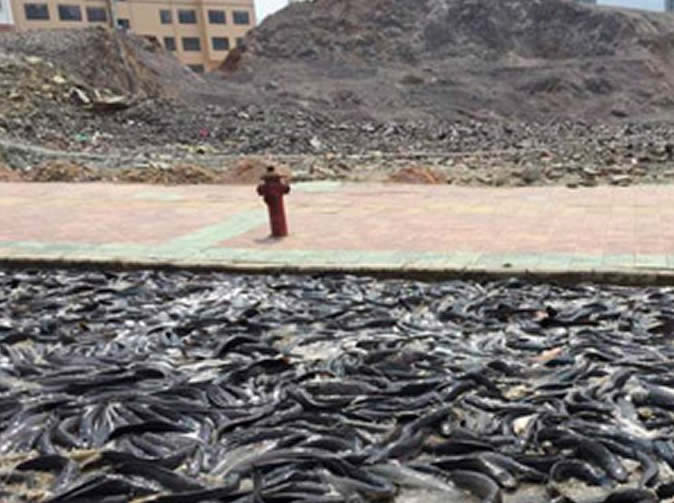 Thousands of catfish spill onto road