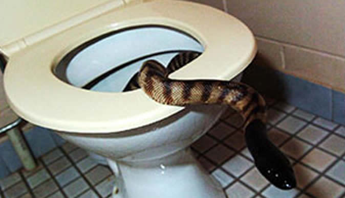 Snake bites man's penis while he sits on the toilet