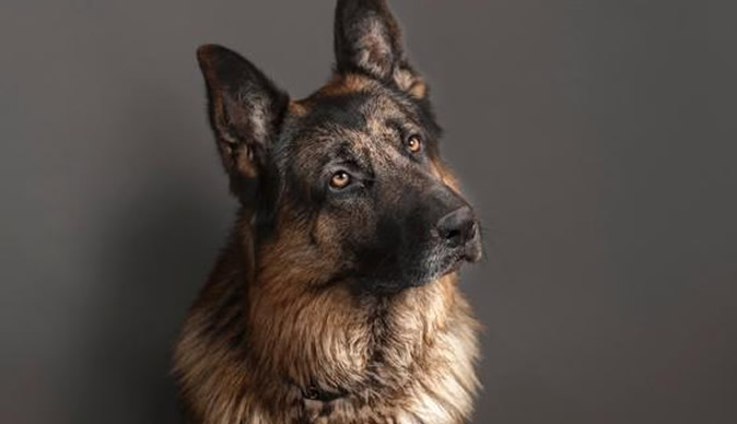 german shepherd news articles